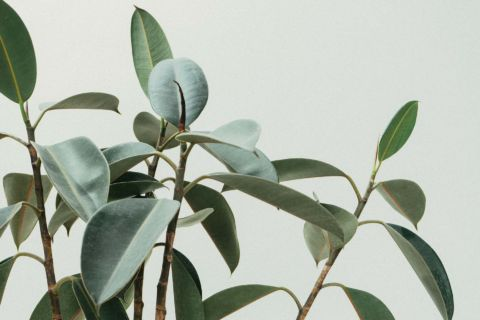 Rubber plant leaves close up